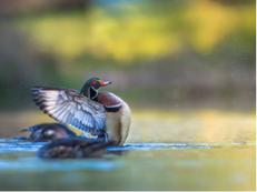 Backyard Wood Ducks, Ruston 2016