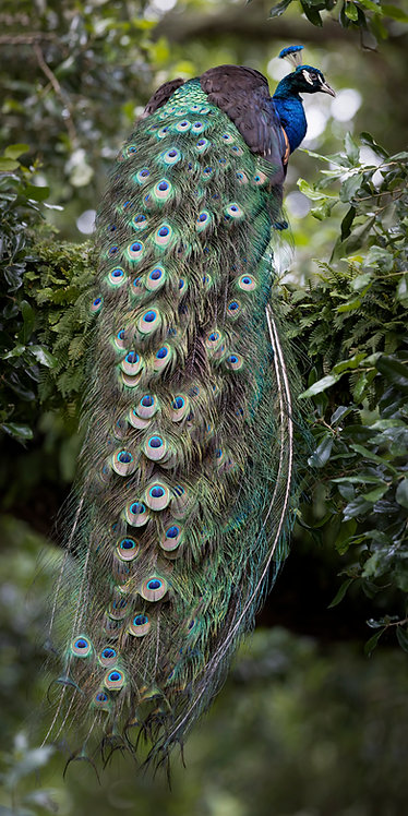Perched Peacock Print by Jeff Perot