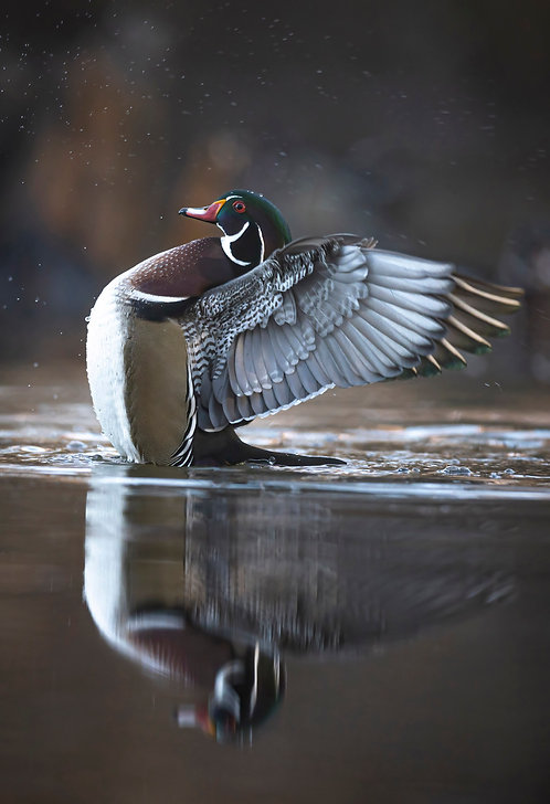 Male Wood Duck Print by Jeff Perot