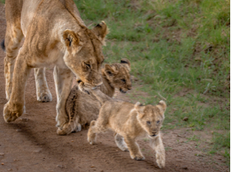 Box-Lions, Mom and Me 2017 Kenya.png