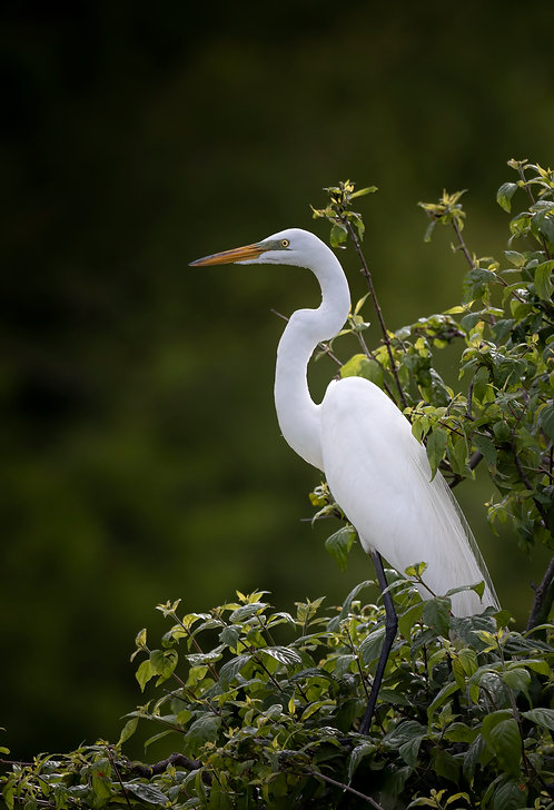 Single Great Egret Print by Jeff Perot