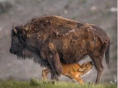 Bison Feeding 2016 Yellowstone Natio