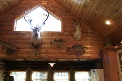 Wall of Trophy Mounts