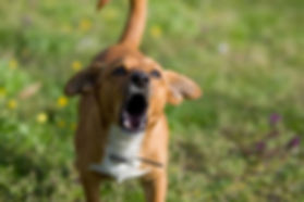 Dog-Barking.jpg