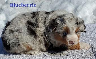 Blueberrie1.jpg