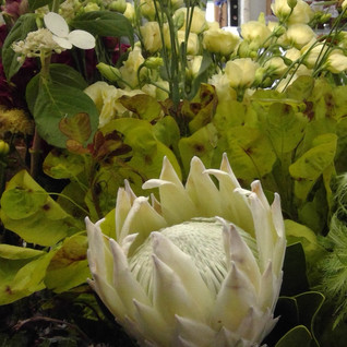 King Protea in white