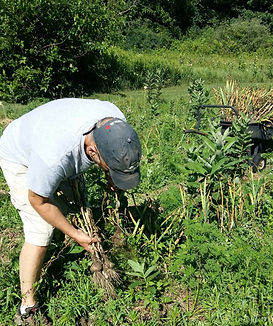 Harvesting the garlic by hand.jpg