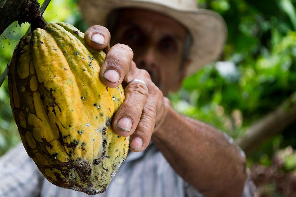A farmer reaches out and picks a single, ripe yellow cacao from a tree