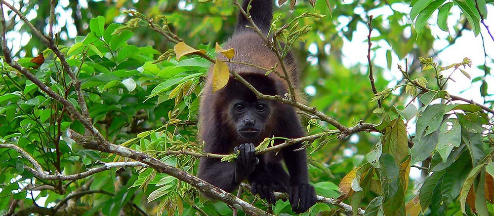 A howler monkey hanging from a tree by its tail, eating leaves in Cahuita National Park, Costa Rica