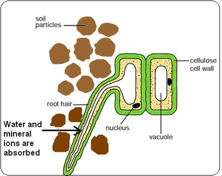 Root Hair Cell