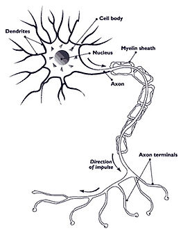 A Human Nerve Cell