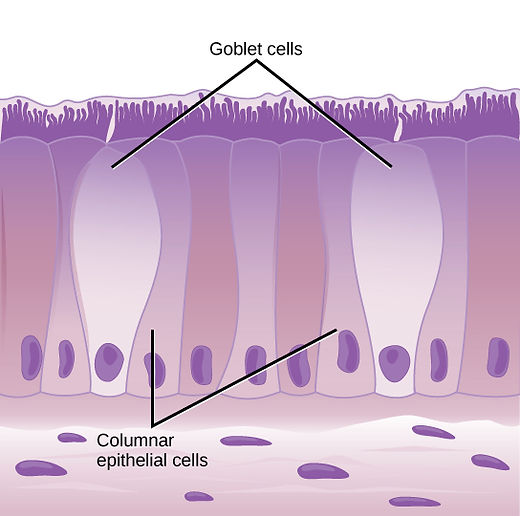Cilliated epithelial cells