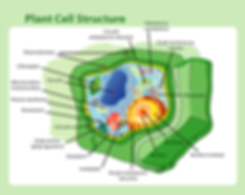 a plant cell