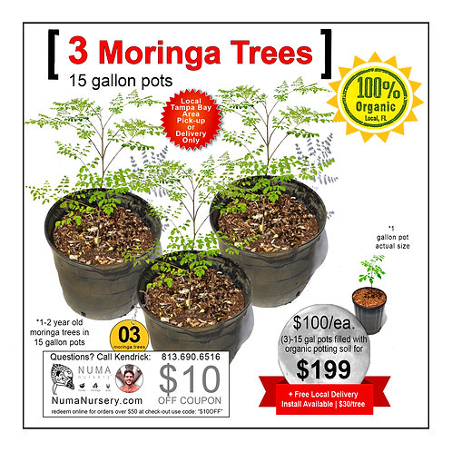 3 Moringa Trees | 15 Gallon