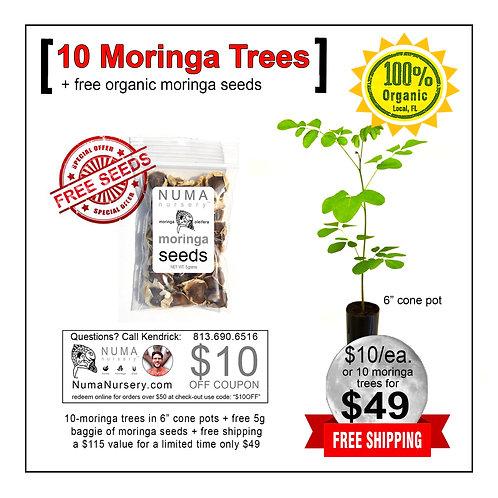 "10 moringa trees 6"" cone pots"