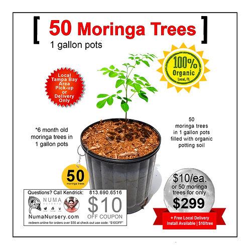 50 Moringa Trees 1 Gallon