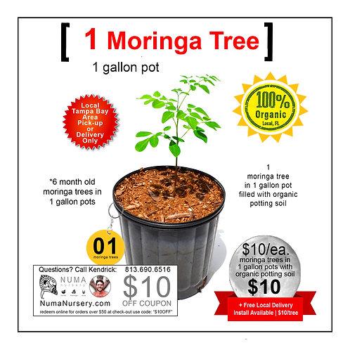 Moringa Tree 1 Gallon