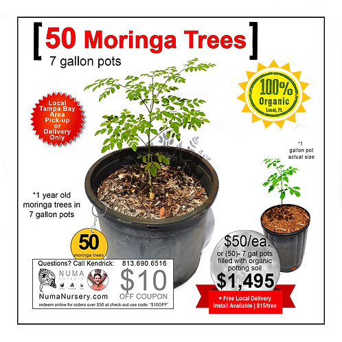 50 Moringa Trees | 7 Gallon