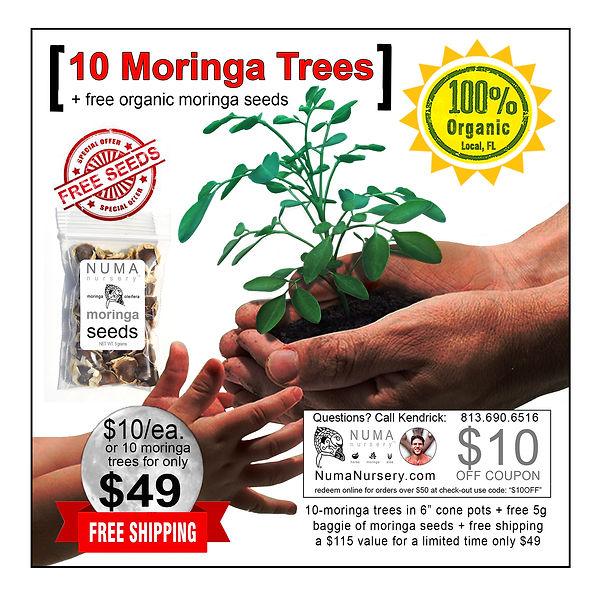 10-moringa-tree-6-inch-tall-pot-free-see