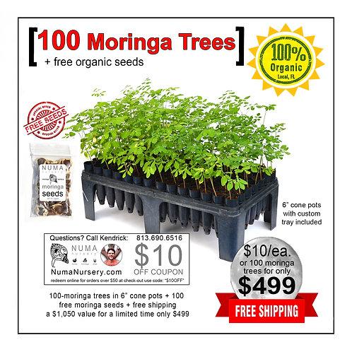 "100 moringa trees 6"" cone pots"