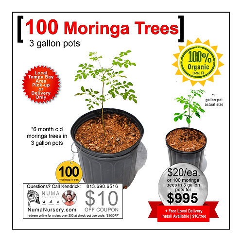 100 Moringa Trees | 3 Gallon