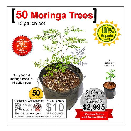 50 Moringa Trees   15 Gallon