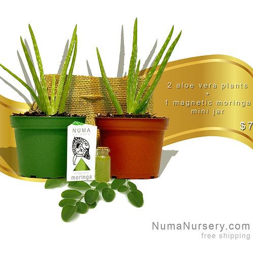 2 aloe vera plants + moringa leaf powder mini jar
