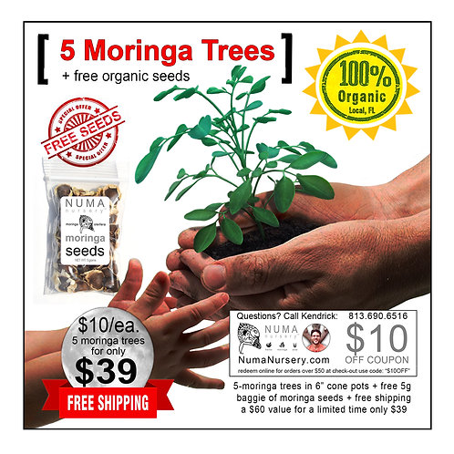 "5 moringa trees 6"" cone pots"