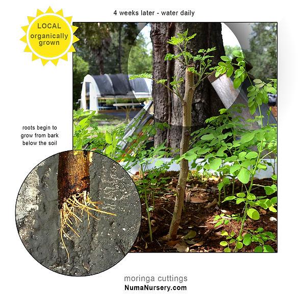 moringa-cuttings-sprout.jpg