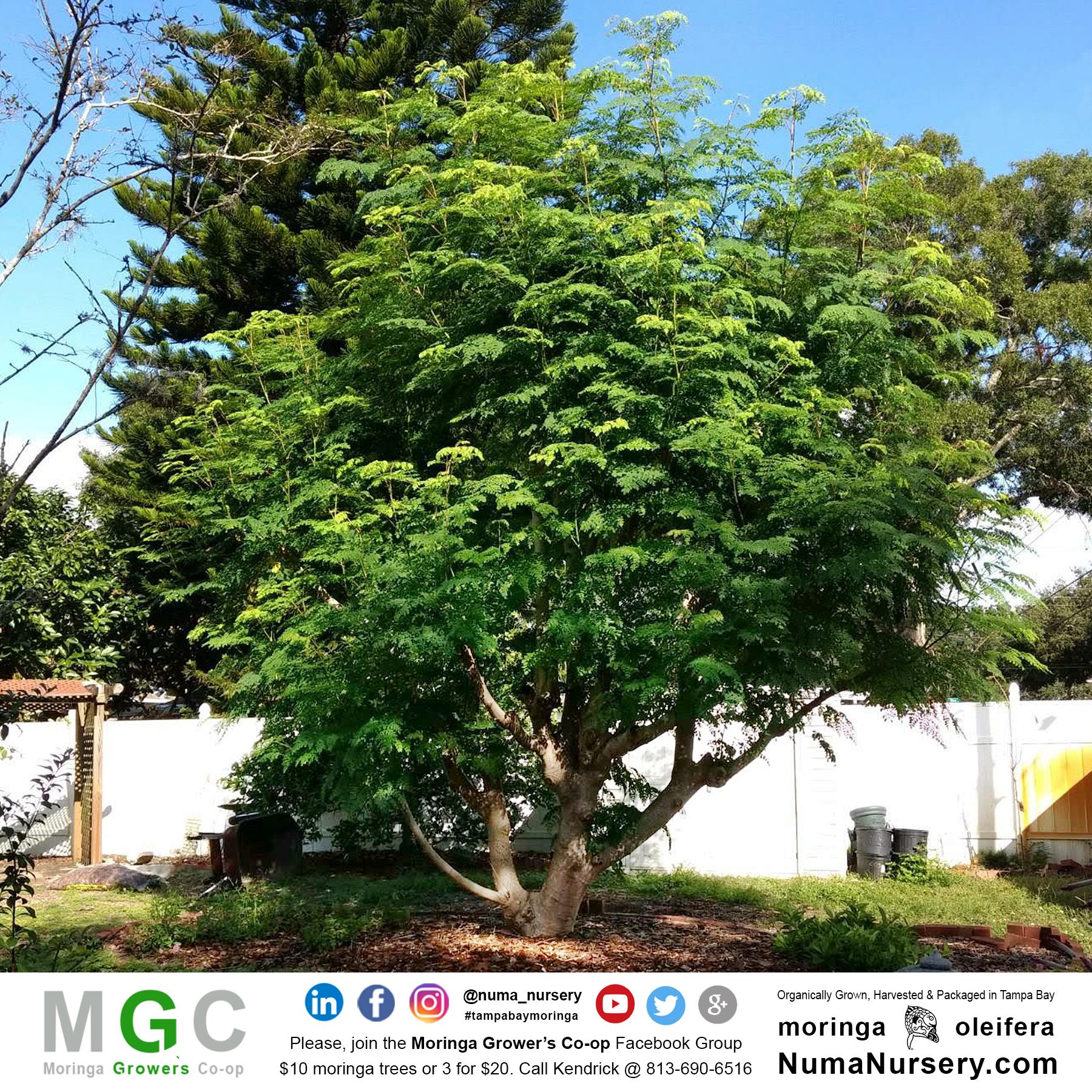 huge moringa tree