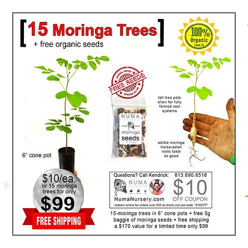 "15 moringa trees 6"" cone pots"