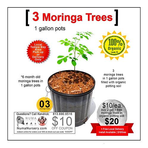 3 Moringa Trees 1 Gallon