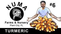 How to Grow Turmeric | Numa Farms & Nursery #6