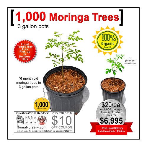 1,000 Moringa Trees | 3 Gallon