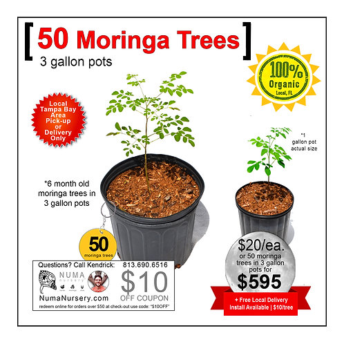 50 Moringa Trees | 3 Gallon
