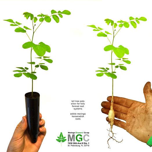 moringa-tree-6-inch-tall-pot-3.jpg