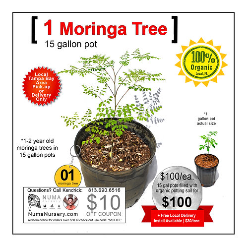 Moringa Tree | 15 Gallon