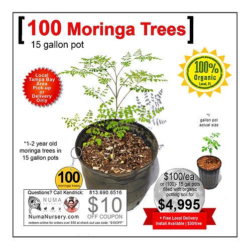 100 Moringa Trees | 15 Gallon