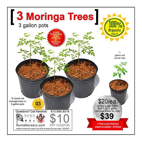 3 Moringa Trees | 3 Gallon