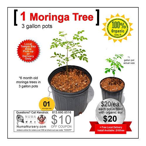 Moringa Tree 3 Gallon