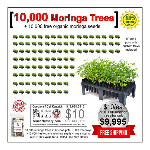 "10,000 moringa trees 6"" cone pots"