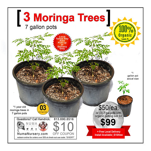 3 Moringa Trees | 7 Gallon