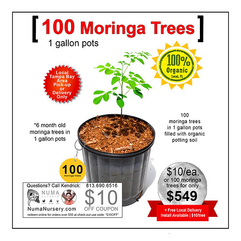 100 Moringa Trees 1 Gallon