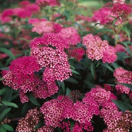 purple-and-pink-anthony-waterer-spirea-blooms-close-up-425x425-1_edited.jpg