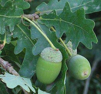 encino-quercus-robur-cachimbas.jpg