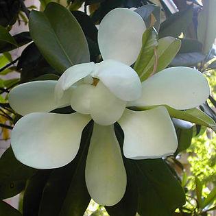 magnolia_grandiflora_grande.jpg