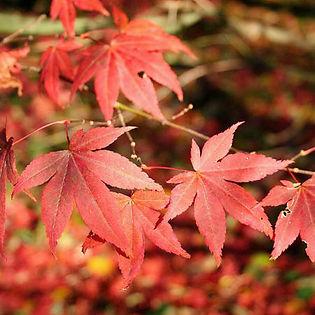 Acer_japonico_rojo.jpg