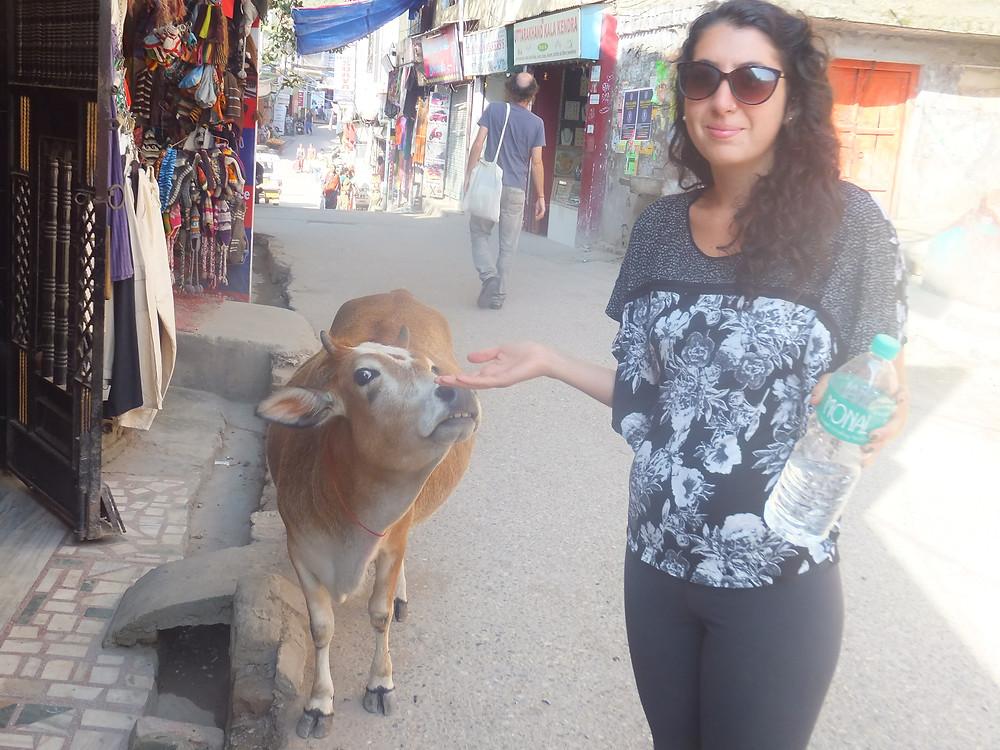 small cows rishikesh india itinerary