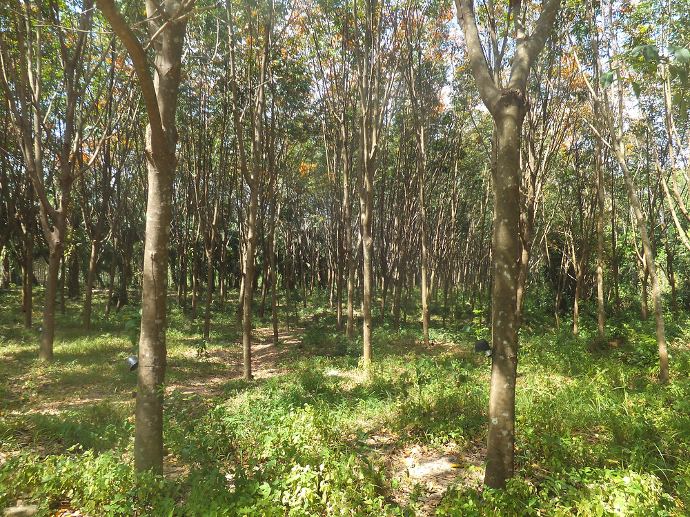 thailand rubber farm koh lanta