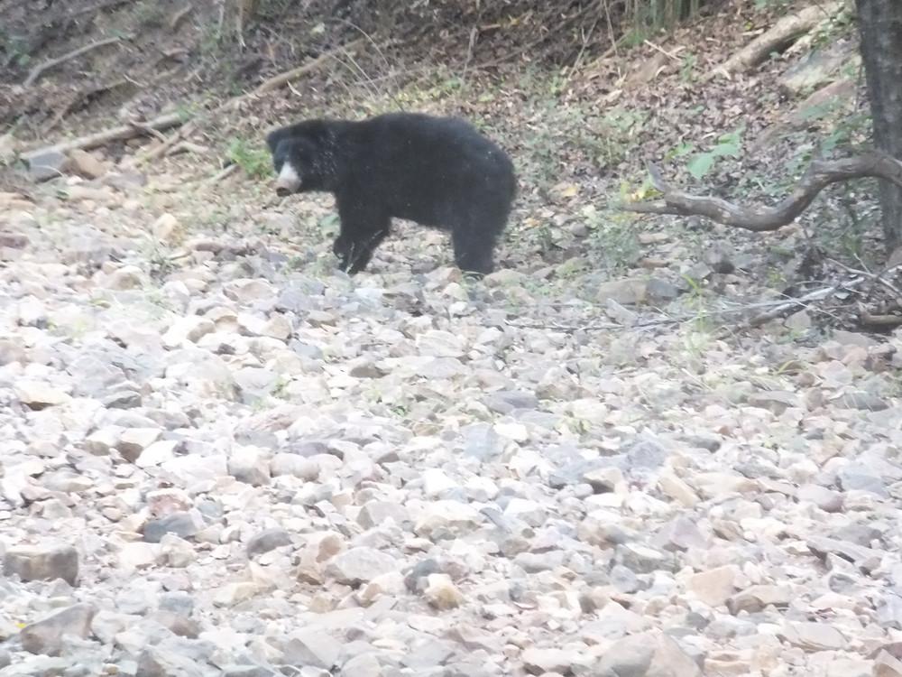 ranthambore national park bear